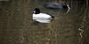 Male Goldeneye (Bucephala clangula) and Coot (Fulica atra) (Jeff G Photo - 2m+ views! - jeffgphoto@outlook.com) Tags: bucephalaclangula goldeneye coot rurasiancoot fulicaatra duck ducks waterfowl water lake