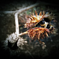 Winter weird pods (MissyPenny) Tags: datura seedpod pennsylvania pdlaich plant winter bristolpennsylvania usa