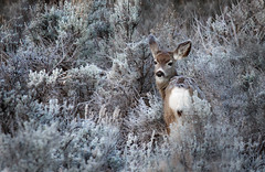 Frosty Morning (Ania.Photography) Tags: morning frost nature wildlfie utah capitolreefnationalpark frozen deer doe beautyinnature