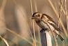 Snow bunting (Esox2402) Tags: wildlife bird feeding post sunlight snowbunting canon7dmkii sigma150600mm