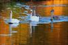 Swimming in Gold. (TeunisHaveman) Tags: zwaan zonsondergang vogel water reflectie watervogel spiegeling natuur slochteren groningerlandschap provinciegroningen gemeenteslochteren bird birds swane