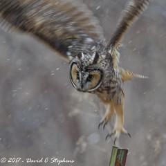 Watch Out Below (dcstep) Tags: aurora colorado unitedstates us n7a3842dxotiffpiccdxo owl longearedowl snow snowing canon5dmkiv ef500mmf4lisii ef14xtciii dxoopticspro1131 allrightsreserved copyright2017davidcstephens bird cherrycreekstatepark prey birdofprey bif birdinflight flying fly flight diving copyrightregistered04222017 ecocase14949772801