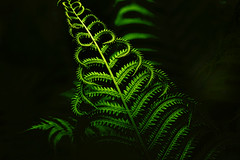 Ferns in My Yard (Dave Linscheid) Tags: plant fern spring frond butterfield watonwancounty mn minnesota usa