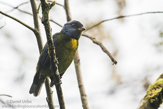 Moss-backed Tanager / Bangsia edwardsi / Bangsia Cariazul