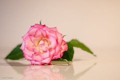 Lying Down! (BGDL) Tags: lightroomcc nikond7000 bgdl niftyfifty afsnikkor50mm118g rose pastelcolours weeklytheme flickrlounge 9flower 52in2017challenge