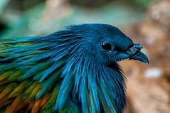 Ruffles (Tony Shertila) Tags: 20170103132700 england gbr unitedkingdom uptonbychester wervin geo:lat=5322679610 geo:lon=288210869 geotagged europe britain northwestengland chester chesterzoo animal cheshire bird beak feathers