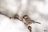 ''Cocottes!''Mésange à tête brune- Boreal chickadee-Poecile hudsonicus (pascaleforest) Tags: boréale forest fôret oiseau brid animal nikon passion nature wild willife froid cold winter snow neige hiver fauna québec canada momorency bokeh