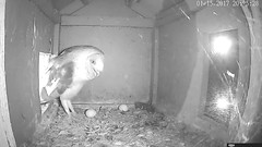 1.15.2017_2005_Jasper Is Calling Fo rDidi (Birder23) Tags: 1152016 jasper didi barn owls call femalebarn owl nest cam