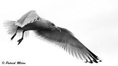 In the sky (patrick_milan) Tags: mouette goéland seagull oiseau bird noiretblanc blackandwhite noir blanc monochrome nb bw black white landscape sea mer iroise water plouguin saint pabu brittany bretagne saintpabu ploudalmezeau porsall finistère saariysqualitypictures