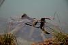 """3 paires de pattes, ce serait donc un insecte... ? (Brigitte .. . """"Tatie Clic"""") Tags: 2017010328 hiver janvier eau leau auborddeleau bois paréidolie lotetgaronne aquitaine francesudouest parcnaturelagengaronne"""