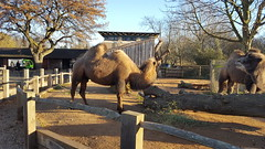 Bactrian Camel (Camelus Bactrianus), London Zoo, Regents Park, London (1) (f1jherbert) Tags: samsungs6 samsunggalaxy galaxys6 samsunggalaxys6 samsung galaxy s6 london uk england