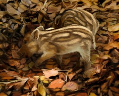 Wild Boar piglet (Jeremy Norton) Tags: illustration painting wildlife autumn fall piglet wildboar
