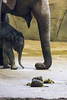 """Neugeborenes """"Jung Bul Kne"""" im Februar 2017 (wuestenigel) Tags: köln tiergarten 2017 zoogehege dickhäuter elephants elefanten elefant tierpark zoo kölnerzoo elephant tiere animals nordrheinwestfalen deutschland de noperson mammal säugetier wildlife tierwelt nature natur animal tier wild water wasser outdoors drausen one eins trunk kofferraum large gros immense immens big daylight tageslicht travel reise strength stärke barbaric barbarisch safari"""