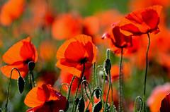 Champêtre coquelicots (Doriane Boilly Photographie Nature) Tags: coquelicots rouge champs nature