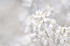 white heliophila (snowshoe hare*) Tags: flowers heliophila white botanicalgarden ヘリオフィラ 海の中道海浜公園 dsc0882