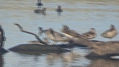 Freckled Ducks (RJNumbat) Tags: freckled ducks duck freckle