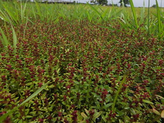 Rotala malampuzhensis (2) (siddarth.machado) Tags: india nature beautiful flora plateau soil marsh aquatic karnataka herb costal honnavara ephemerals honnavar plantworld lateritic amazingflora siddarthmachado