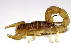 Parabuthus pallidus 'dark' (Kenya)  adult (ScorpionsExplored) Tags: kenya scorpion venomous invertebrate buthidae