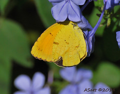 resHI 93 sulpher sleepy orange (annSatt) Tags: butterfly barredyellow