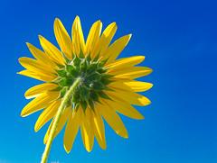 Wild Sunflower Blue Sky (918monty) Tags: sunflower prairie yellow petals pinwheel wildflower flowers annual helianthus commonsunflower simplicity bountiful fabulousflowers naturescomposition madaboutflowers bluesky primelenses wildsunflower