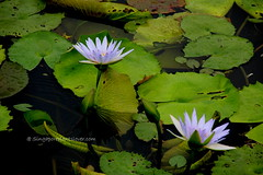 IMG_4199 (singaporeplantslover) Tags: nymphaea   lotus