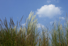 Blue White (Sandeep Santra) Tags: blue autumn sky cloud india flower nadia details mayapur westbengal incredibleindia kashful saccharumspontaneum