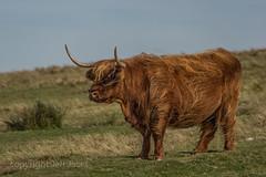 A Highland on Dartmoor K3__7681.jpg (screwdriver222) Tags: hairy countryside cow nationalpark cattle pentax horns fluffy highland devon moors moor livestock dartmoor moorland k3 da50135f28ed