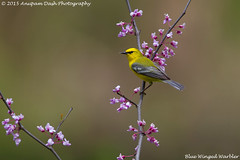 Blue Winged Warbler!! (Anupam Dash Photography) Tags: camera wild canada color male bird nature water colors beauty birds clouds canon adult song wildlife north birding northamerica birdwatching avian anupam warbler wildlifephotographer songbird songbirds naturephotography bluewingedwarbler northamericanbirds naturesfinest colourartaward naturecanada canon500mmf4 canon1dmarkiv birdsofontario anupamdash anupamdashphotography