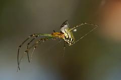 Colorfull Orbweaver too,Leucage sp. (ron_n_beths pics) Tags: westernaustralia orbweavers araneidae leucagesp