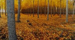 As Oregon Falls (ernogy) Tags: autumn fall yellow oregon forest orchard boardman boardmantreefarm ernogy