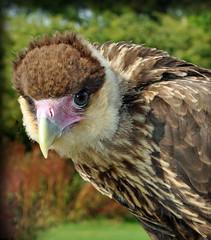 Caracara (littlestschnauzer) Tags: york summer bird nature face birds kara nikon yorkshire centre cara feathers visit tourist prey attraction caracara 2015 huby