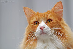 IMG_7655a_c (JANY FEDERICO GIOVANNINETTI) Tags: hairy cats cat hair eyes funny soft sweet expressions occhi international felini gatto gatti divertenti pelosi pelo dolci pedigree internazionale sguardi espressioni razza soffice soffici