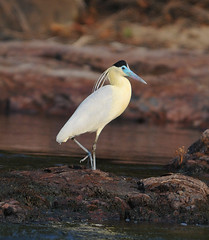 Capped Heron (Todd Boland) Tags: brazil heron birds amazon