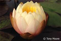 Mae3 (Waterlelie.be) Tags: ohio mae bethel 2012 tonymoore verenigdestatenvanamerika noordamerika nymphaeamae