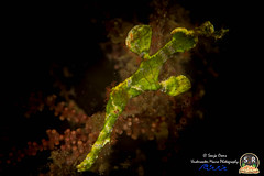 HALIMEDA GHOST PIPEFISH (50mm) (Sonja Ooms) Tags: macro nature water animal indonesia underwater ghost straits lembeh nad pipefish solenostomus halimeda lembehstraits solenostomushalimeda divinglembehstraits nadlembehresort