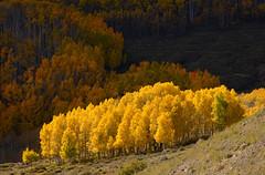 Aspens (Rhoda!) Tags: trees usa yellow utah fallcolor aspens bouldermountain autumncolour