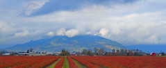 Pano: Blueberry Fields forever (peggyhr) Tags: autumn trees red canada mountains clouds bc pano barns fraservalley thegalaxy blueberryfield peggyhr level1photographyforrecreation thegalaxyhalloffame level2photographyforrecreationsilveraward rainbowofnaturelevel1red