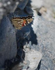 Belle Dame - Vanessa cardui (michel lherm) Tags: papillons vanessacardui lpidoptres belledame rhopalocres