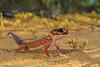 Western Smooth Knob-tailed Gecko (Rob Valentic - Gondwana Reptile Productions) Tags: coast knob sanddune westernaustralia heathland australianreptiles dunescape kalbarriwa australianlizards geckonidae desertlizards sandplain sandandsky desertgecko knobtailedgecko nephrurus nephruruslevisoccidentalis coastallimestone smoothknobtailedgecko makroplanar502ze canoneos5dmark3 bokehzeiss westernsmoothknobtailedgecko outbackreptiles aridaustralianreptiles wagoldfieldsreptiles iconicaustralianlandscape iconiclizard burrowinggeckowa geckobokeh floweringheathlandwa bizarregeckoknob kalbarrigecko spectacularknobtailgecko zeissmakroplanar50mmze ariddunesgecko