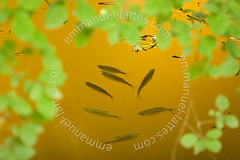 Gardons et ablettes venant respirer à la surface d'un étang (France). (Emmanuel LATTES) Tags: lake fish france tree green nature water leaves mouth river leaf pond eau open natural cloudy many group lac surface vert rivière fresh several oxygen trouble heat bouche environment bleak breathe été roach fishes poisson tough arbre groupe douce muddy suffocate feuille lack freshwater étang resisting chaleur gardon ouverte naturel milieu nombreux manque resistant respirer doxygène rutilus résistant erythrophthalmus plusieurs scardinius rotengle suffoquer