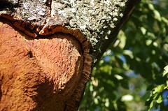 sugaro (nic.santuccio) Tags: sardegna albero raccolta sughero