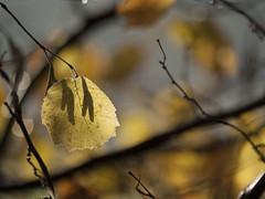 La feuille d'automne ... * (Titole) Tags: autumn shadow leaves yellow automne leaf branch bokeh branches shallowdof friendlychallenges titole nicolefaton