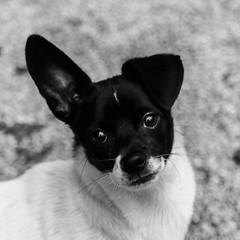 Poldark17Dec1600006-Edit.jpg (fredstrobel) Tags: dogs pawsatanta phototype atlanta blackandwhite usa animals ga pets places pawsdogs decatur georgia unitedstates us