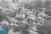 Hide Photography Season 2016-2017 (_alcedo_) Tags: 4eagles 4ereliai art birds borisbelchev deviant gulls gullsandterns laridae lithuania longexposure mingė nature nemunasdelta nemunodeltarp toniandcaroldilinger waterfowl autumn biodiversity breeder flock hidephotography migrant season seasons wildlifephotography wintering workshop wwwalcedowildlifecom