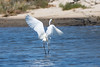 Great Egret (Ardea alba) dancing (Keefy2014) Tags: great egret dancing ardea alba
