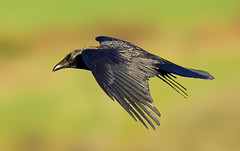 Carrion crow  ( Corvus corone ) -  Afternoon flight !! (Clive Brown 72) Tags: bird crow corvid corvidae inflight wales afternoon sunny carrioncrow