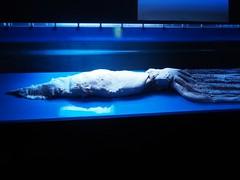 Okinawa Churaumi Aquarium (Laika ac) Tags: okinawa japan mainisland okinawachuraumiaquarium aquarium churaumiaquarium shisa giantsquid