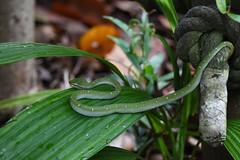 DSC_3945 (olyaterekhova) Tags: nature snakes singapore bukit timah park