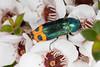 Tas endemic jewel beetle. (zosterops) Tags: australia tasmania blackmansbay petermurrellreserve canoneos6d canonmacrolensef100mm kenkoextensiontubes macro insecta coleoptera buprestidae castiarina ocelligera