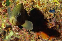A me gli occhi, Cernia. Loock at me, Grouper. (Epinephelus marginatu) (omar.flumignan) Tags: lampedusa italia italy isola island mediterraneo mediterranean holiday vacanze canon g7xmk2 fantasea fg7xmk2 ikelite ds51 macro underwaterphotograpy fotosub undersea grouper cernia allnaturesparadise flickrtravelaward ngc epinephelusmarginatu